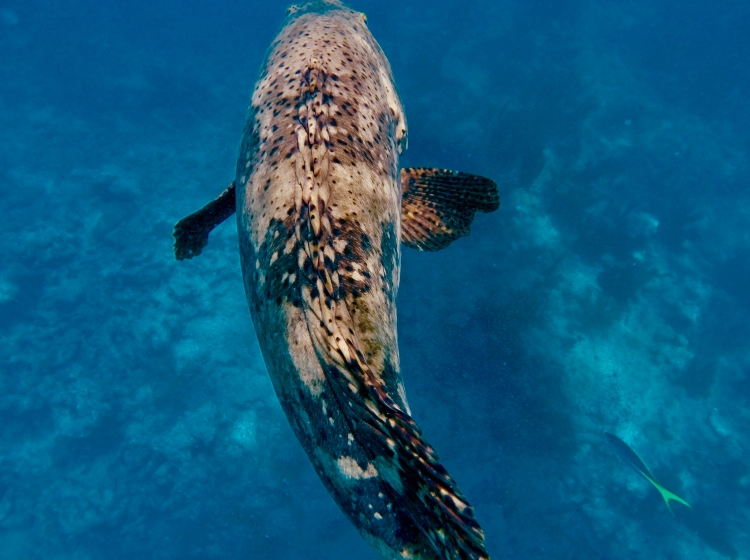 goliath grouper swimming below