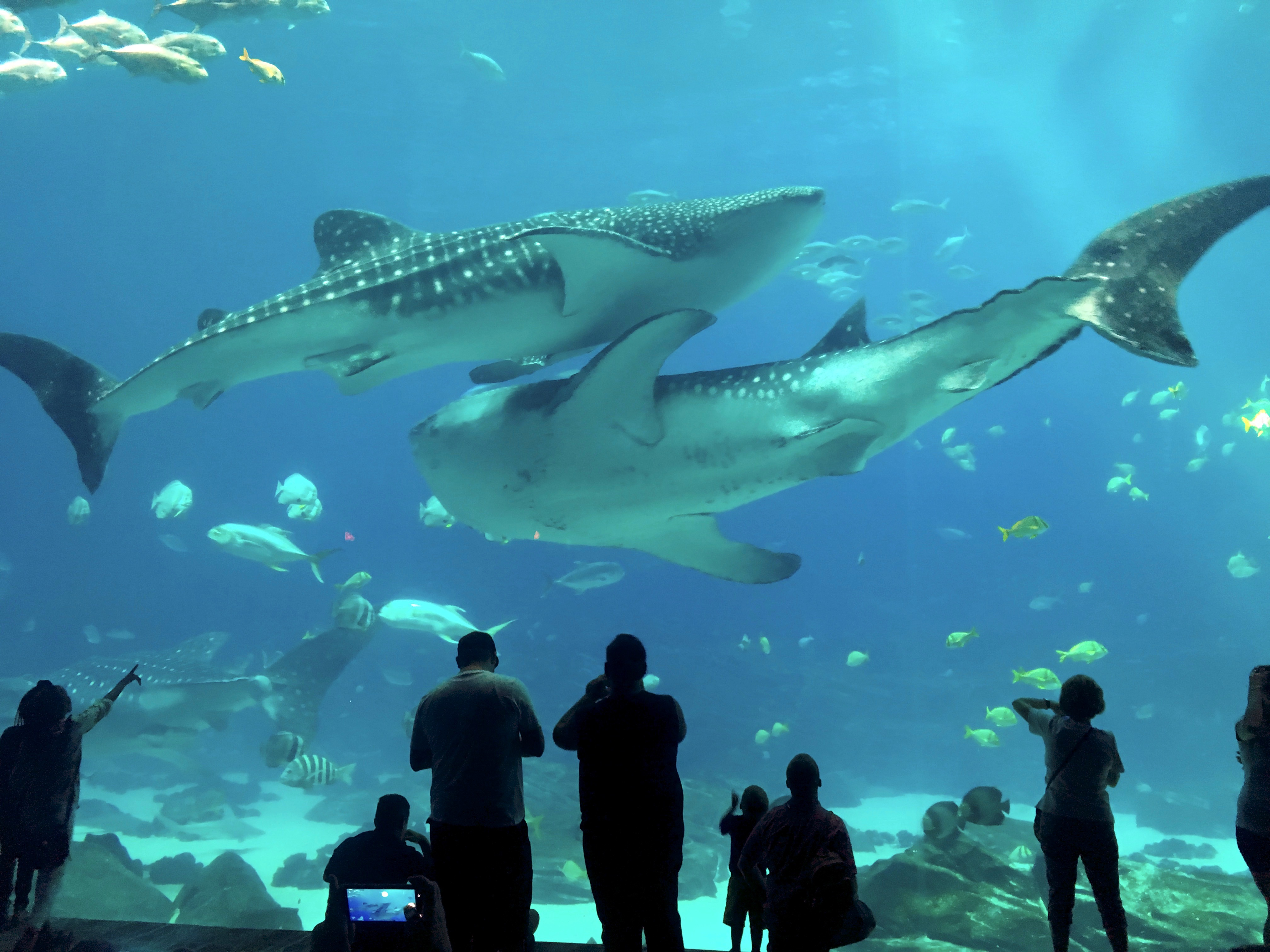 Double Whale Shark Trouble