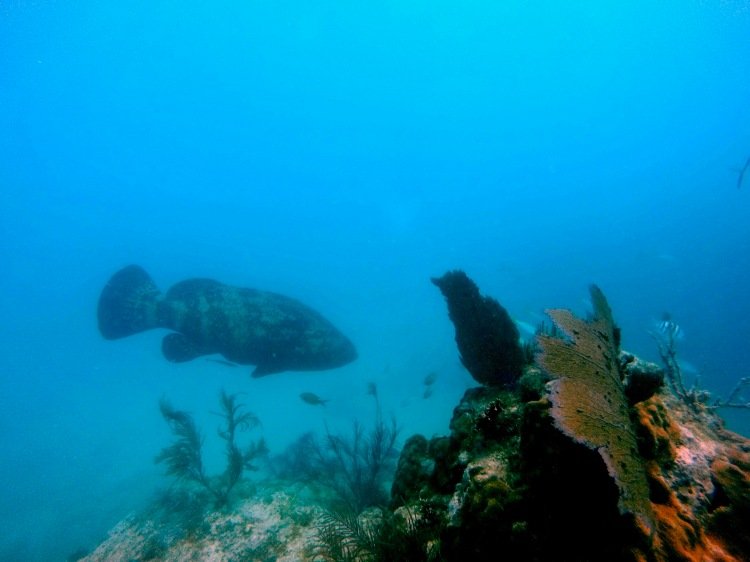 big Goliath grouper swimming away