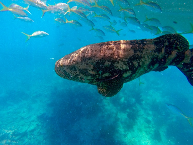 Goliath grouper and yellow tail