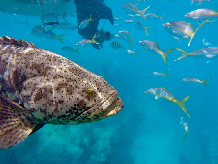 adolescent Goliath grouper next to boat