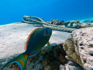 parrot fish curacao