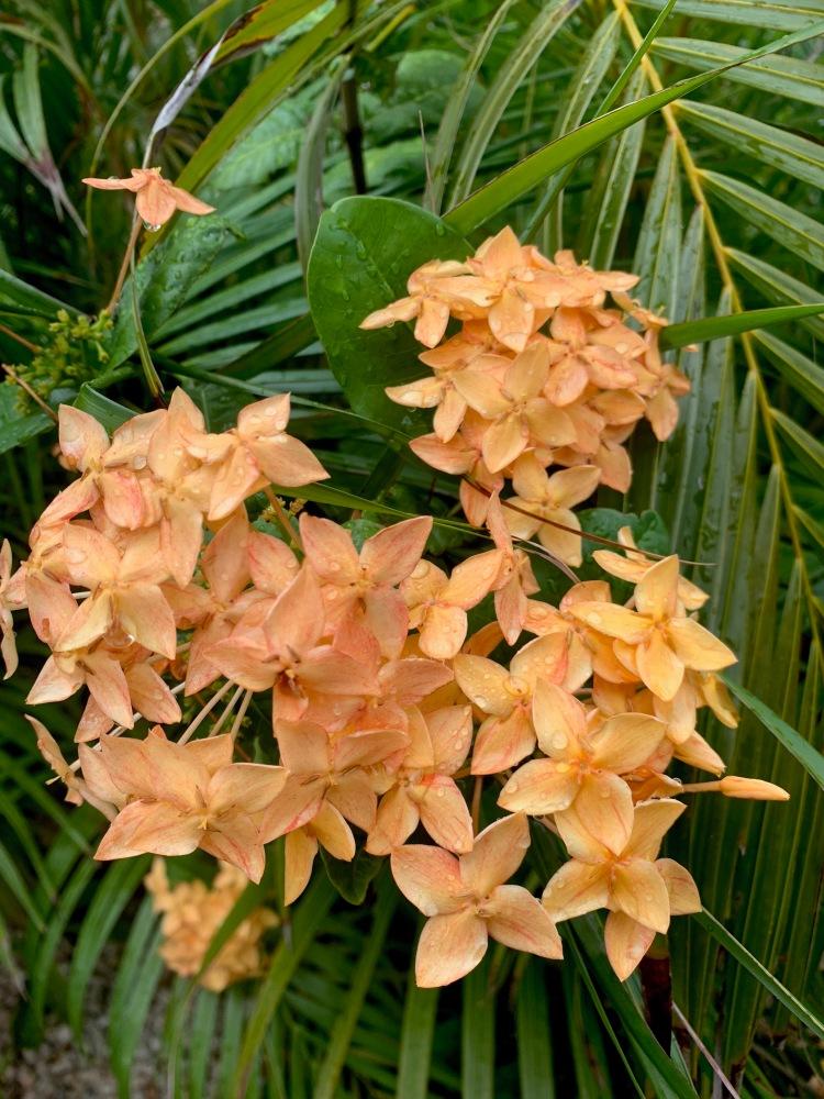 orange picuala