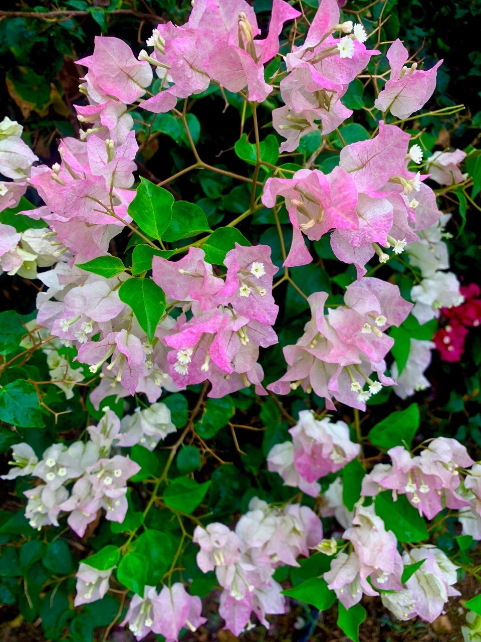 light pink bougainvillea flowers