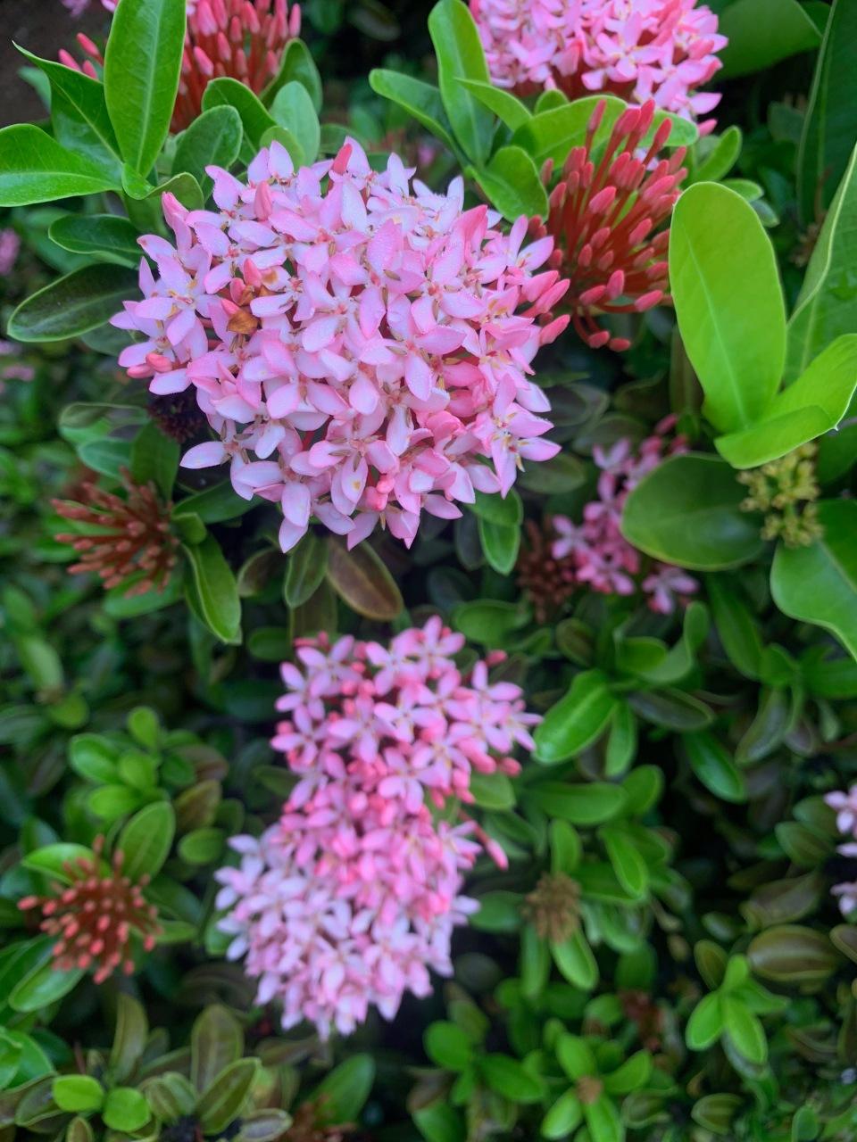 pink picuala rangoon creeper flowers