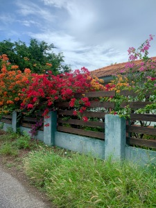 bougainvilleas over blue wall