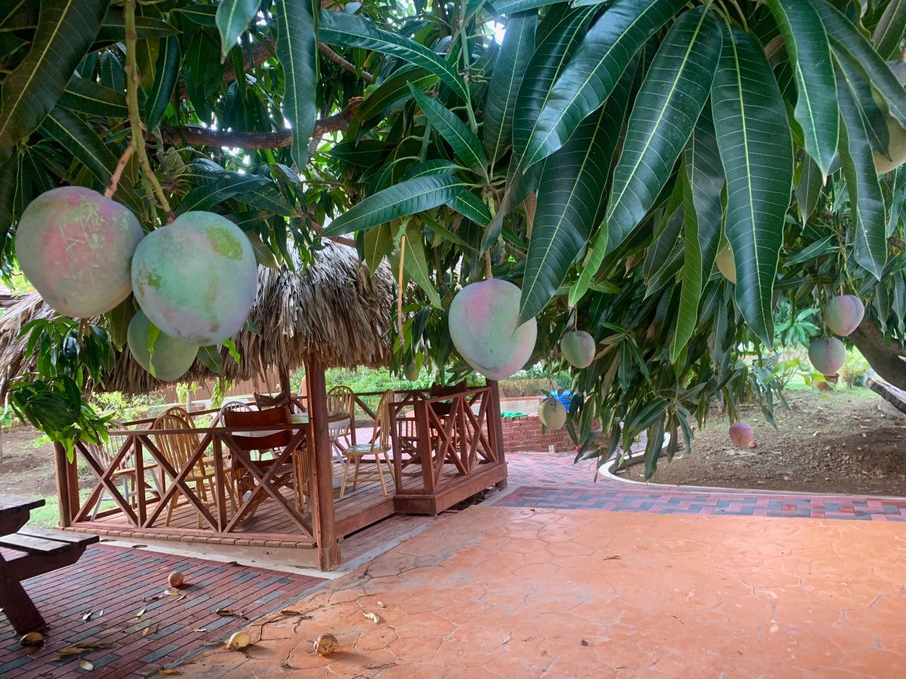 tiki hut and mango tree