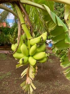 bananas growing