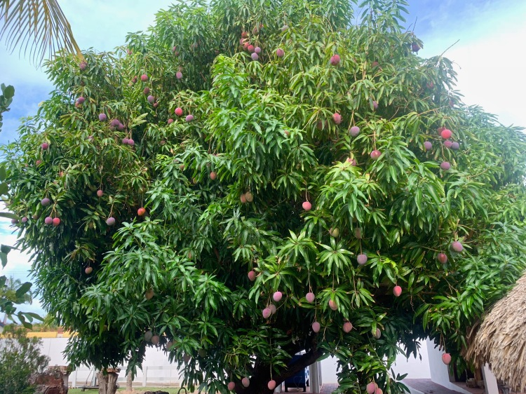 large mango tree