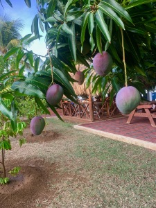 about to fall mangos